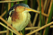 Male Least Bittern — Stock Photo