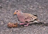 Ground Dove — Fotografia Stock