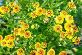 Flores amarelas em um fundo de folhas verdes — Foto Stock