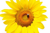 Flower sunflower and bumblebee — Stock Photo