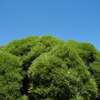 Green crown of tree on background blue sky — стоковое фото #13990580