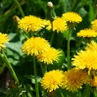 Flowering dandelions on the lawn — Stock Photo