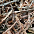 Stock Photo: Dried pine branches.