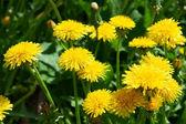 Tarassaco di fioritura sul prato — Foto Stock