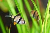 Pesci acquario - barbus tetrazona — Foto Stock