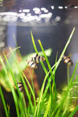 Pesci acquario - barbus puntius tetrazona — Foto Stock