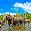 Elephant group in the river — Stockfoto