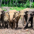 A herd of elephants — Stock Photo