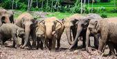 A herd of elephants — Stock Photo