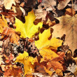 Stock Photo: colorful autumn leaves