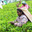 Female tea picker in tea plantation — Stock Photo