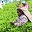 Stock Photo: Female tea picker in tea plantation