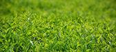 Green tea bud and leaves. — Stock Photo