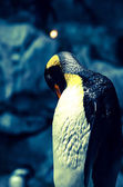Colorful king penguin — Stock Photo