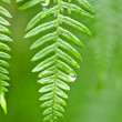 Stock Photo: Dew on ferns