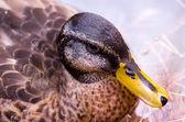 Duck 2 — Stock Photo
