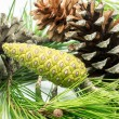Stock Photo: Pinecone 7