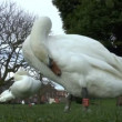 Stock Video: Swans