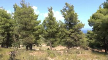 Pine trees in a Forest — Stock Video