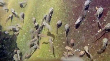 Kurbağa yavruları — Stok video