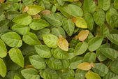 Creeping Fig - Ficus pumila — Stock Photo