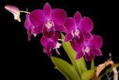 Purple Dendrobilum Orchids — Stock Photo