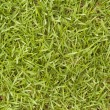 Bermuda Grass - Cynodon dactylon - Stock Photo