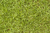 Bermuda Grass - Cynodon dactylon — Stock Photo