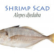 Shrimp Scad — Stock Photo