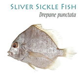 Sliver Sickle Fish — Stock Photo
