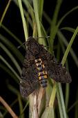 Death's Head Hawk Moth - Acherontia lachesis — Stock Photo
