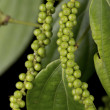 Green peppercorns or Piper nigrum — Stock Photo