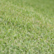 Mowed Bermuda Grass or Cynodon dactylon — Stock Photo