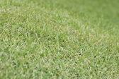 Mowed Bermuda Grass or Cynodon dactylon — Stock Photo