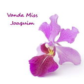 Vanda Miss Joaquim, Singapore's National Flower — Stock Photo