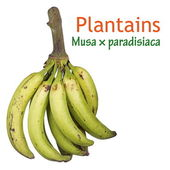 Green Plantains — Stock Photo