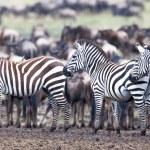 ������, ������: Zebra on a pasture