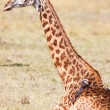 The wounded giraffe — Stock Photo