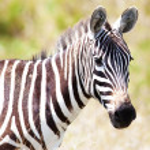 Постер, плакат: Zebra on a pasture