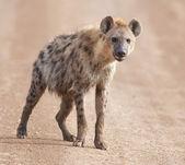 Charming hyena — Stock Photo