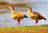 Birds of the lake Nakuru — Stock Photo
