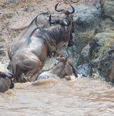 Gnu antelope — Stock Photo