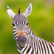 Royalty-Free Stock Photo: zebra