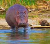 Hippo emerging from the water photographed in a natural habitat — Stock Photo