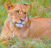 Lion's family — Stock Photo