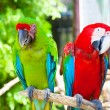 Two parrots cockatoo — Stock Photo