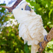 Yellow-crested Cockatoo — Stock Photo