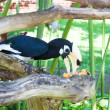 Wreathed Hornbill (Aceros Undulatus) — Stock Photo