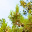 Green cones on a pine tree — Stock Photo