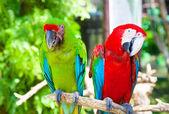 Two parrots cockatoo — Stock Photo